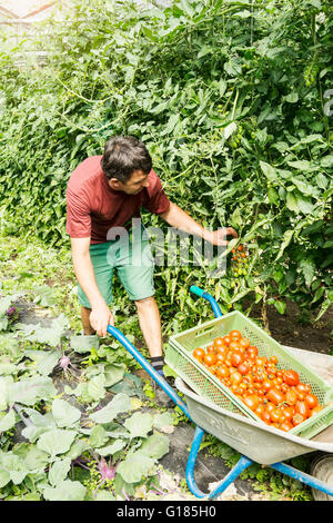 Farmer with wheelbarrow of tomatoes in organic farm - Stock Image