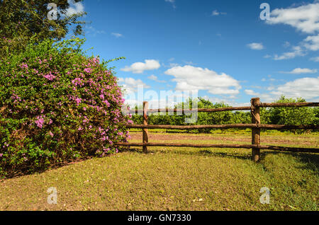 Wooden fence and brazilian flower (bougainvillea-primavera) - Stock Image