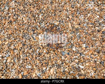 Mesoglea remains of jelly fish on pebble beach - Stock Image