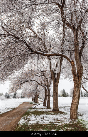 Dirt path & Fremont Cottonwood trees with spring leaves in fresh May 9th springtime snowstorm; Salida; Colorado; USA - Stock Image