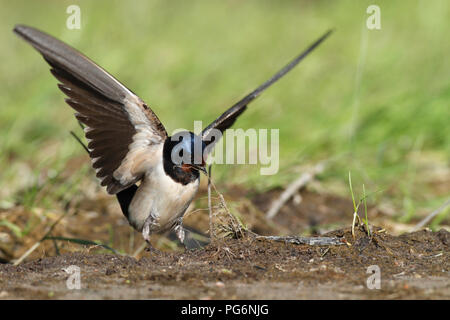 Barn swallow (Hirundo rustica) collects nesting material, open wings, Nature Park Peenetal, Mecklenburg-Western Pomerania - Stock Image