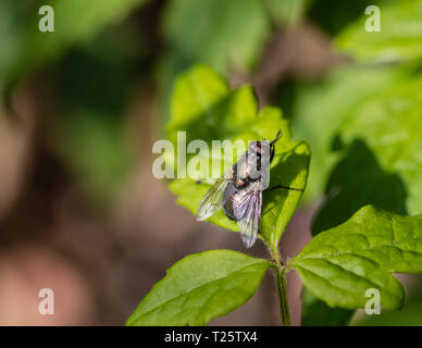 A common green bottle fly Lucilia sericata) resting on a leaf. - Stock Image