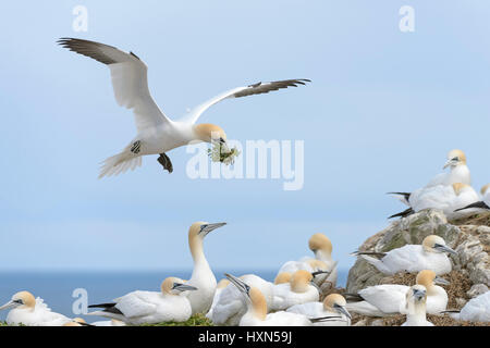 Northern gannet (Morus bassanus) adult in flight with nest material at breeding colony. Great Saltee island, co - Stock Image