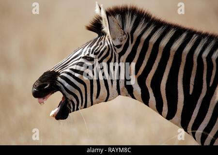 Close-up of a Burchell's Zebra (Equus burchelli) Yawning, in Profile. Satara, Kruger Park, South Africa - Stock Image