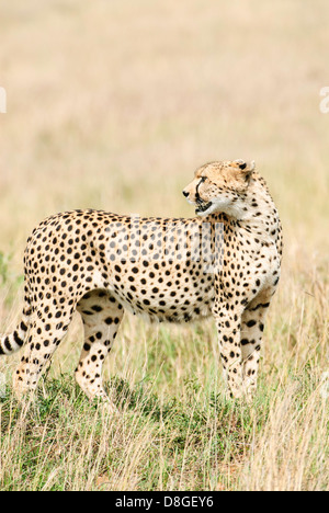 A cheetah uses a termite mound as a vantage point to look for its next meal in the Masai Mara in Kenya. - Stock Image