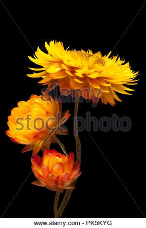 Strawflower Trio With Black Background - Stock Image