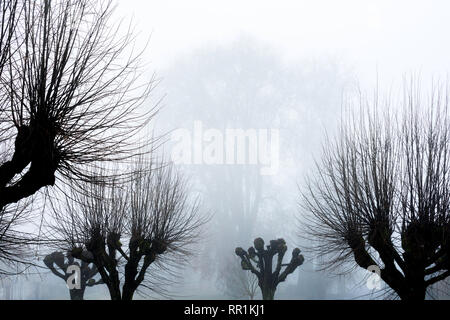 Silhouette in mist / fog of pollarded Lime trees, France. - Stock Image