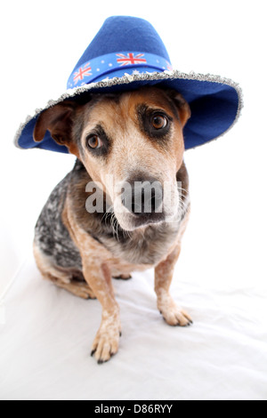 RED AND BLUE CATTLE DOG WEARING AUSTRALIAN FLAG HAT WHITE CUT OUT BACKGROUND PORTRAIT VERTICAL BDA12 - Stock Image