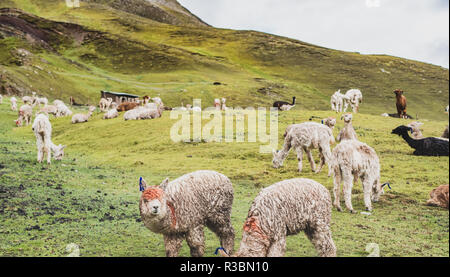 View of the llamas and vicuñas seen in the way to the Rainbox Mountain, Vinicunca - Stock Image