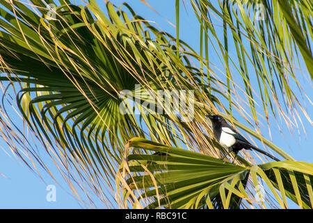 Maghreb magpie (Pica mauritanica) in a tropical palm tree, Agadir, Morocco - Stock Image