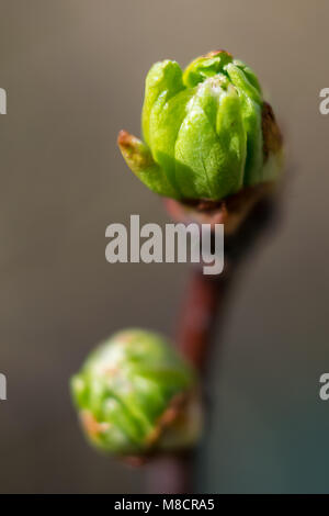 new leaves just opening - Stock Image