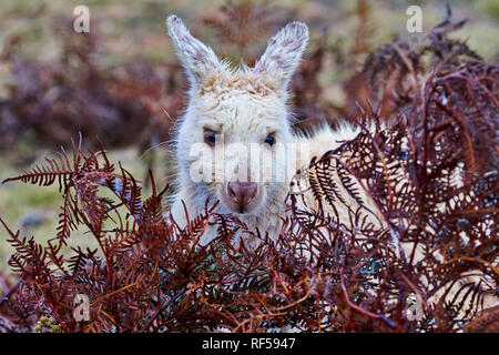 Beautiful. wild, white wallaby at Narawntapu National Park in Tasmania peeks from behind red foliage - Stock Image