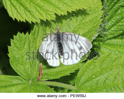 Green Veined Butterfly on some leaves. - Stock Image