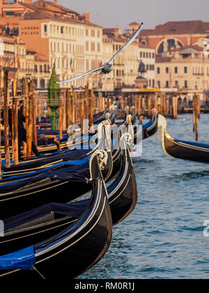 A seagull soars over the elegant prows of gondolas bobbing at their moorings along the Venetian Grand Canal. - Stock Image