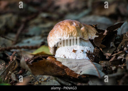 Funghi Porcini Fungi in the Woods Mushrooms Mycology - Stock Image