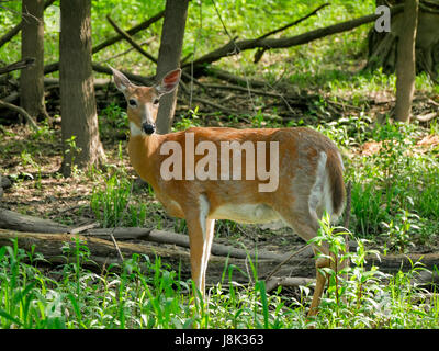 White-tail deer doe molting winter gray fur for summer red. - Stock Image