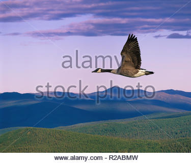 Canada Goose flying over wilderness forest and mountains near Dawson City Yukon Territory Canada - Stock Image
