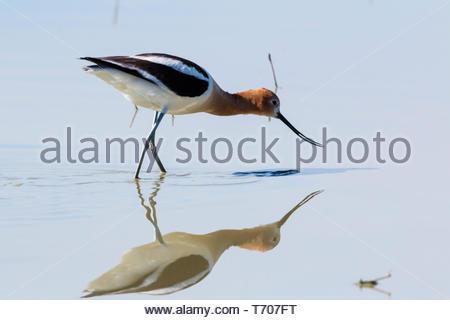 American Avocet, Recurvirostra americana, wading in pond in Arizona USA - Stock Image