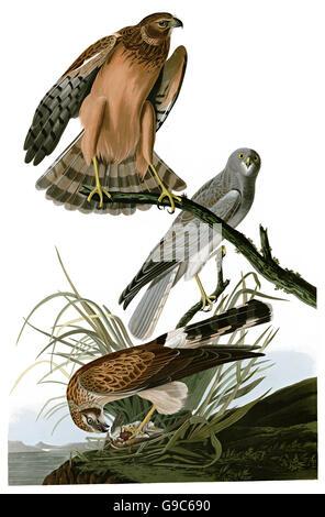 Northern Harrier, Circus Cyaneus, birds, 1827 - 1838 - Stock Image