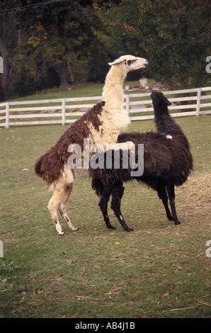 llamas copulating - Stock Image