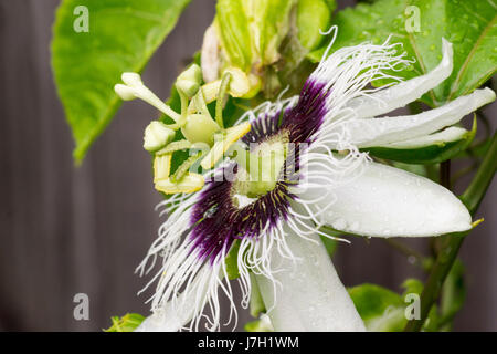Passion fruit flower - Stock Image
