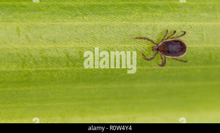 Brown dog tick close-up. Green leaf texture. Rhipicephalus sanguineus. Ixodida. Dangerous parasite on natural background. Top view. Infection carrier. - Stock Image