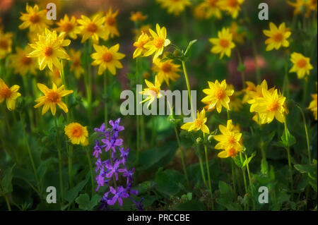 Wild daisies and larkspur. Freemont National Forest, Oregon. - Stock Image