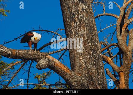 Eagle white head Botswana - Stock Image