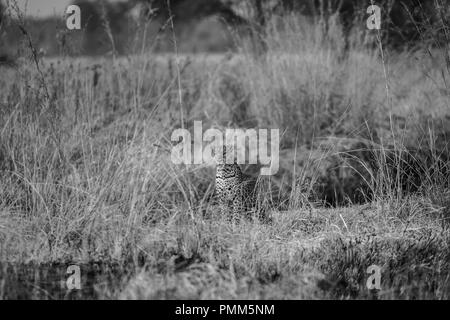 Leopard sits in the long grass, South Luangwa, Zambia - Stock Image
