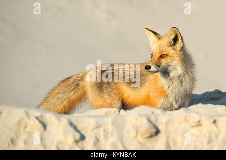 Red Fox on Beach - Stock Image