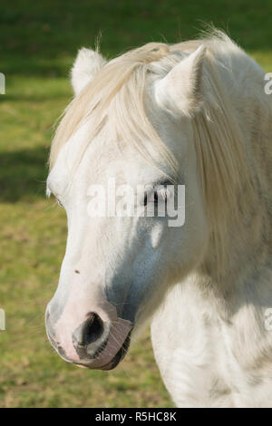 Welsh mountain pony an ancient breed native to Wales once used as pit ponies and as draught animals - Stock Image