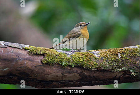 A female Hill Blue Flycatcher (Cyornis banyumas) perched on a moss-covered branch in the forest in North Eastern Thailand - Stock Image