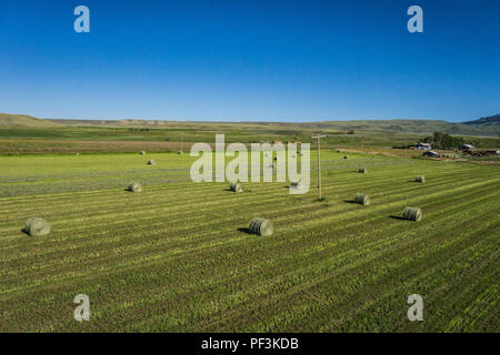 Rolls of green hay bales lays out in the field waiting for harvest. - Stock Image