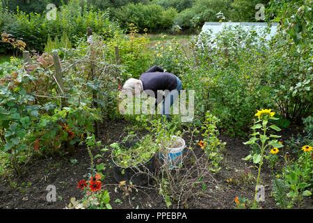 Older senior woman digging in a vegetable and flower garden in autumn UK  KATHY DEWITT - Stock Image