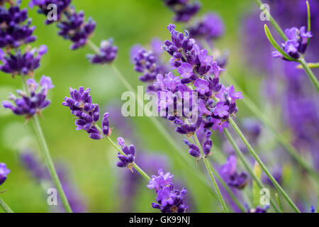 Closeup of Lavender flower - Stock Image