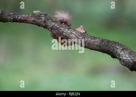 Red squirrel in scotland - Stock Image