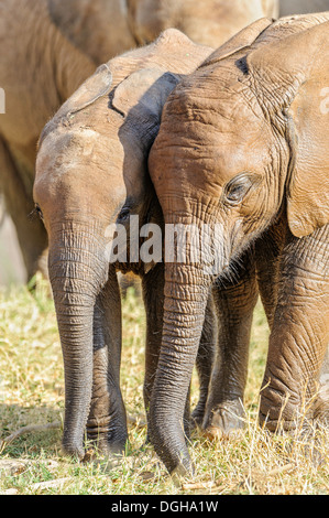 A pair of elephant calves rest after bathing in the Ewaso Ng'iro River in Amburu. - Stock Image