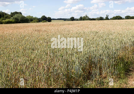 Wheat field rolling countryside summer landscape, Sutton, Suffolk, England, UK - Stock Image