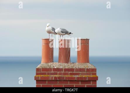 European Herring gulls, Larus argentatus, perched on chimneys overlooking the north sea, Whitby, United Kingdom, British Isles - Stock Image