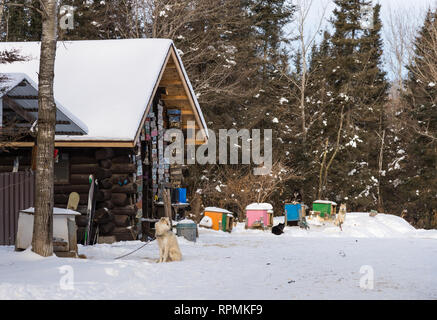 Sledge dogs in front of a snow-covered wooden cabin.  Duluth, Minnesota, USA. - Stock Image