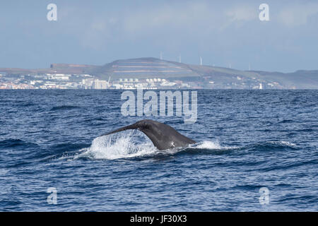 Female Sperm Whale, Physeter macrocephalus, or cachalot, fluking in front of Funchal, Madeira, North Atlantic Ocean - Stock Image