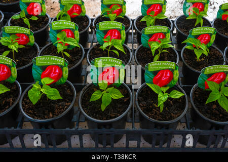 Plant nursery display of young  plants in a greenhouse in early spring,  Chilli   Pepper Scotch Bonnet Red for later sale as bedding plants - Stock Image