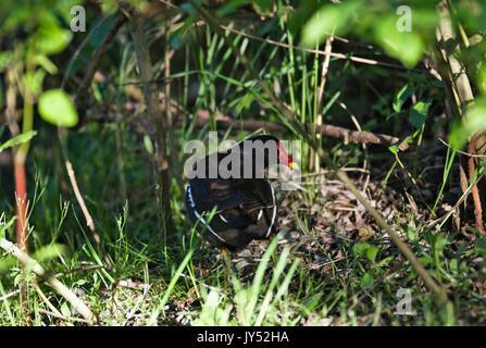 Eurasian common Moorhen, Cologne, Germany - Stock Image