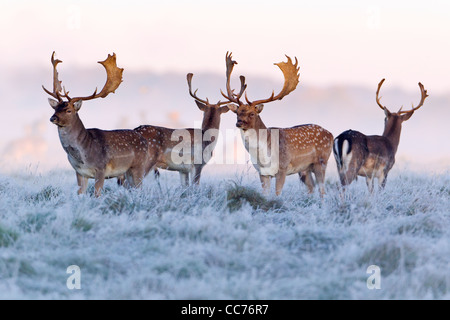 Fallow Deer (Dama dama), Four Bucks at Dawn, during the Rut, Royal Deer Park, Klampenborg, Copenhagen, Sjaelland, - Stock Image