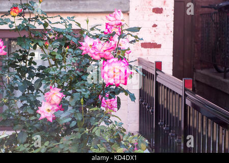 Roses in a garden - Stock Image