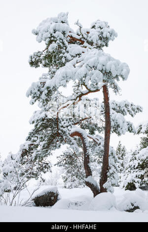 Pine tree covered in snow during winter in Sweden - Stock Image