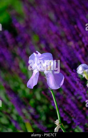 pale blue Iris in garden agains t a background of Lavender - Stock Image
