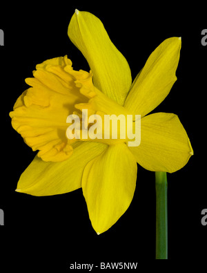 Yellow Daffodil Blossom - Stock Image