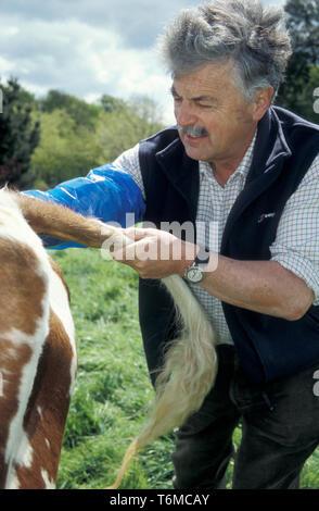farm vet performing internal exam of pregnant cow's uterus - Stock Image