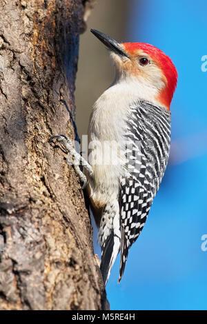 Red-bellied Woodpecker - Stock Image